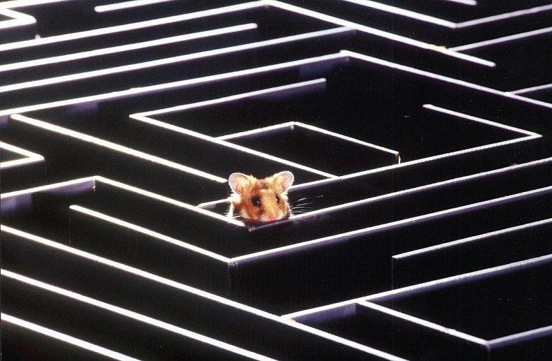 labirinto-ratos memória